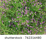 false heather or elfin herb | Shutterstock . vector #762316480