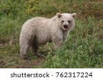 white little grizzly with cute... | Shutterstock . vector #762317224