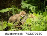 family of red fox cubs playing... | Shutterstock . vector #762370180