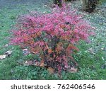 barberry shrub in autumn | Shutterstock . vector #762406546