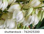 white yucca filamentosa bush... | Shutterstock . vector #762425200
