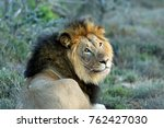 close up of male lion in the... | Shutterstock . vector #762427030