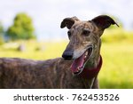 Spanish Galgo  Portrait Of...