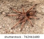 Small photo of Hairy brown Tarantula crawling on the ground in Chile. In the natural habitat. Theraphosidae