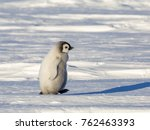 Stock photo an emperor penguin chick makes a move on the frozen weddell sea in antarctica 762463393