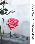 beautiful red roses in the... | Shutterstock . vector #762475270