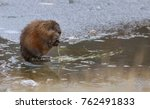 Muskrat feeding in Wyoming