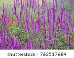 Small photo of Close up of a field of pink flowers of the Woodland Sage, Balkan Clary (Salvia nemorosa)