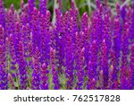Small photo of Close up of a field of violet flowers of the Woodland Sage, Balkan Clary (Salvia nemorosa)