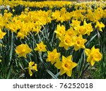 These Sunny Yellow Daffodils...