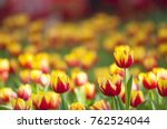 red yellow tulips with... | Shutterstock . vector #762524044