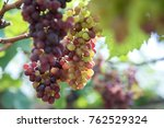 bunches of ripe red wine...   Shutterstock . vector #762529324