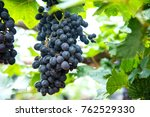 Bunches Of Ripe Red Wine...
