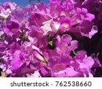 pink garlic vine  beautiful... | Shutterstock . vector #762538660