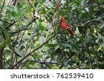 red male northern cardinal bird ...   Shutterstock . vector #762539410