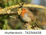 a pretty robin  erithacus... | Shutterstock . vector #762566638