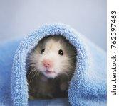A Cute Fluffy Hamster Looks Ou...