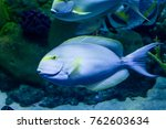 Small photo of Surgeonfish (Acanthurus sp.) relaxing with Cleaner Wrassse.