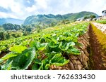 strawberry farm in the northern ... | Shutterstock . vector #762633430