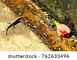 little indian lizard         | Shutterstock . vector #762633496