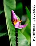 Purple Flowering Banana Blosso...