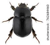 Small photo of Scarab beetle. Pentodon algerinus (Scarabaeidae; Coleoptera). Isolated on white