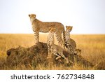 cheetahs watching prey in... | Shutterstock . vector #762734848