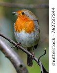 european robin  erithacus... | Shutterstock . vector #762737344