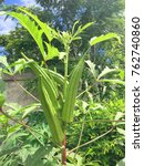 Small photo of Okra or Ladyâ??s finger or Abelmoschus esculentus (L.) Moench (MALVACEAE)