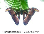 beautiful big butterfly  giant... | Shutterstock . vector #762766744