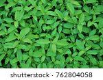 green leaves background texture. | Shutterstock . vector #762804058