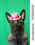 Small photo of portrait of a Malinois Belgian Shepherd dog with a tender look wearing a pink and white silver hat on a green background