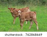 Two Brown Calfs On A Pasture ...
