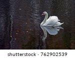 Graceful White Swan Swimming I...
