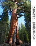 giant sequoia in mariposa grove ... | Shutterstock . vector #7629052