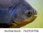piranha sea beast | Shutterstock . vector #762924706