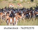springbok  antidorcas... | Shutterstock . vector #762952570