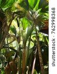 coco de mer  giant coconut ... | Shutterstock . vector #762998368