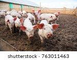 Domestic Pigs. Pigs On A Farm...