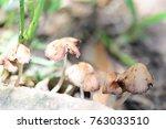 brown mushrooms growing in an...   Shutterstock . vector #763033510