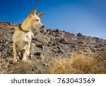 Chihuahua Dog Watching And...