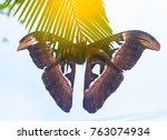 beautiful big butterfly  giant... | Shutterstock . vector #763074934
