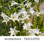 Small photo of Glorious Lilium candidum Madonna Lily a plant in the genus Lilium, one of the true lilies flowering in late spring is a decorative addition to the garden landscape and a long lasting cut flower.