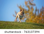 a happy excited french bulldog... | Shutterstock . vector #763137394