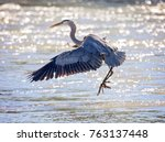 a great blue heron flying over... | Shutterstock . vector #763137448