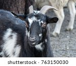black goat at the petting zoo | Shutterstock . vector #763150030