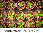 potted seedlings growing in... | Shutterstock . vector #763175974