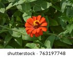 single vermilion zinnias | Shutterstock . vector #763197748