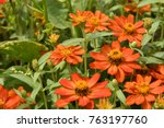 group of vermilion zinnias | Shutterstock . vector #763197760