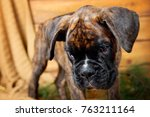 Puppy Boxer Looks Askance At...